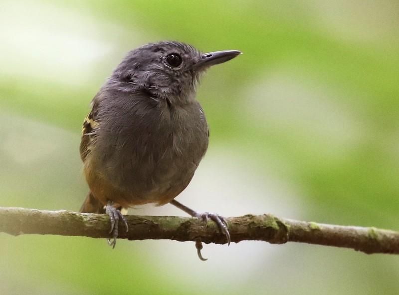 Rufous-bellied Antwren_Isleria guttata_Guyana_Ascanio_ 199A6465