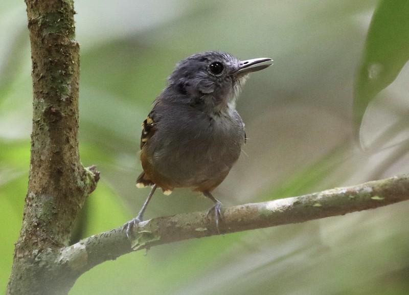 Rufous-bellied Antwren_Isleria guttata_Guyana_Ascanio_ 199A6454