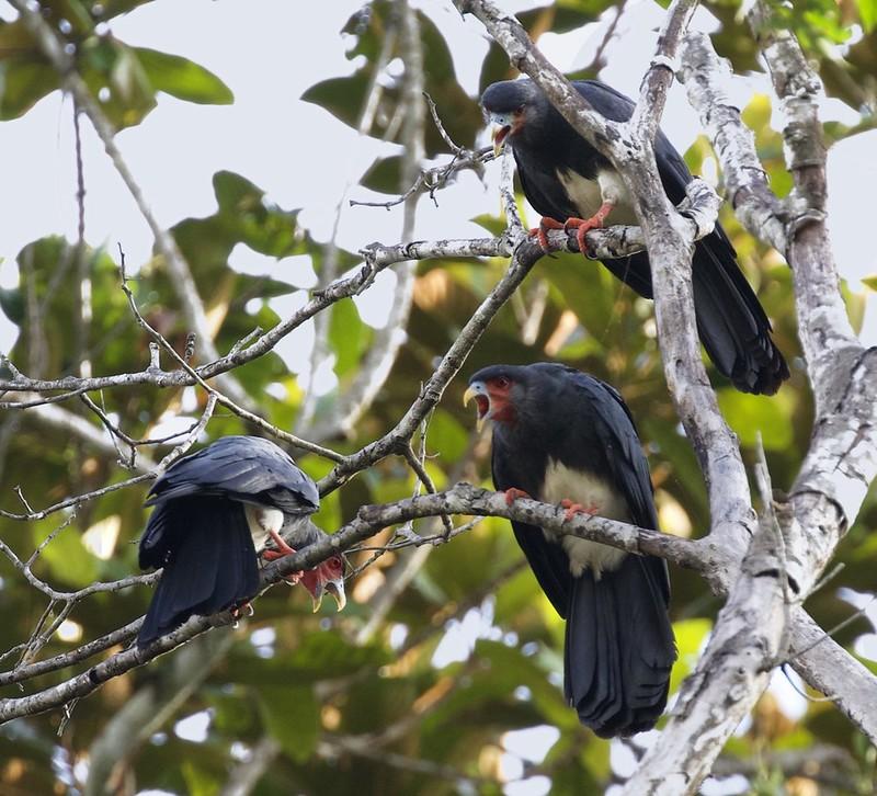 Red-throated Caracara_Ibycter americanus_Guyana_Ascanio_ 199A6099