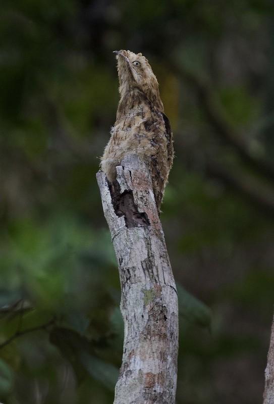 Long-tailed Potoo_Nyctibius aethereus_Guyana_Ascanio_199A5940
