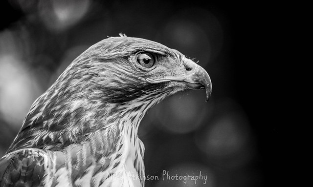Buzzard Portrait (Mono).