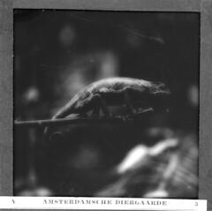 Chameleon, Amsterdam Zoo, ca 1920.