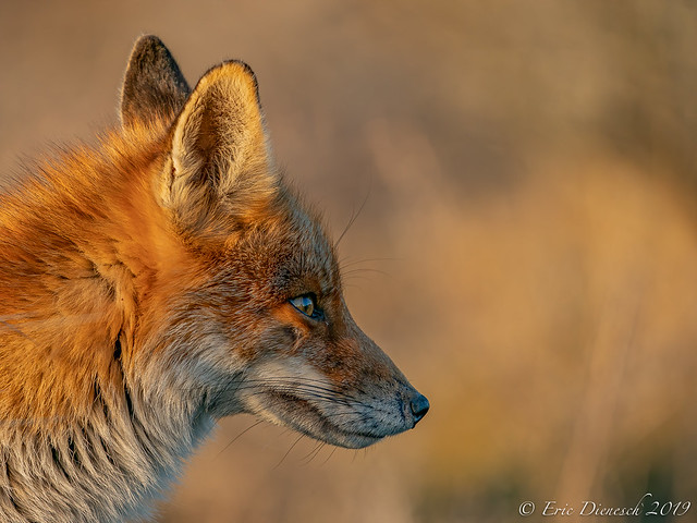 Fox in portrait