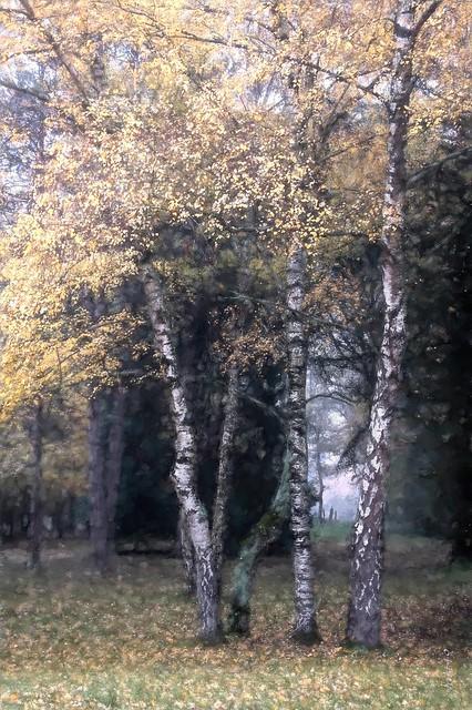 Les petits bouleaux d'automne.
