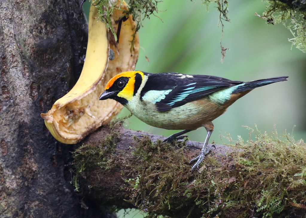 Flame Faced Tanager