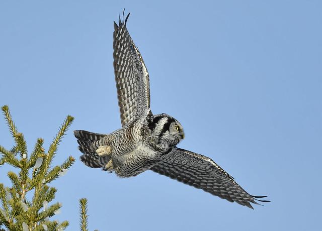 Épervière Boréale - Northern Hawk Owl