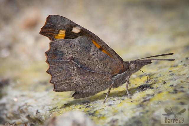 Mariposa del Almez - Libythea celtis