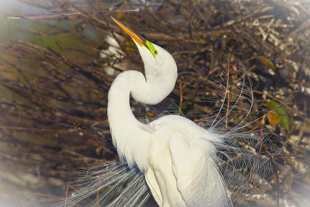 Great Egret White vigenet