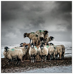 Stacked Sheep
