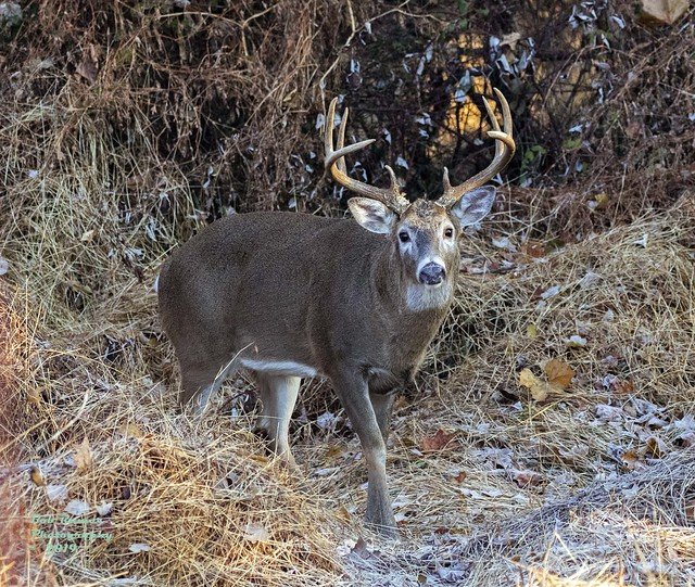 Deer White-tailed Buck 8 Pointer.