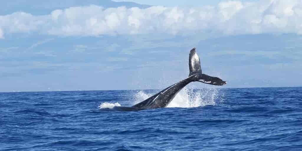 Le cœur des baleines bleues bat 2 fois par minute sous l'eau
