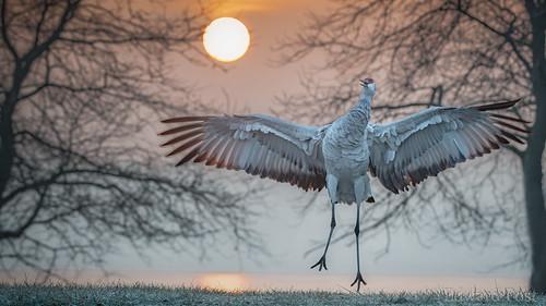 bird kensingtonmetropark park sandhillcranegruscanadensis sunrise brighton michigan unitedstatesofamerica