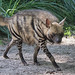 Striped Hyena - Photo (c) Valerie, some rights reserved (CC BY-NC-ND)
