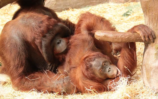 Borneo orangutan Bunjo and Lea Krefeld BB2A0933