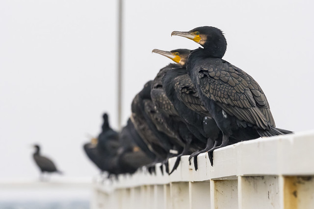 Cormorants (Phalacrocorax carbo) and depth