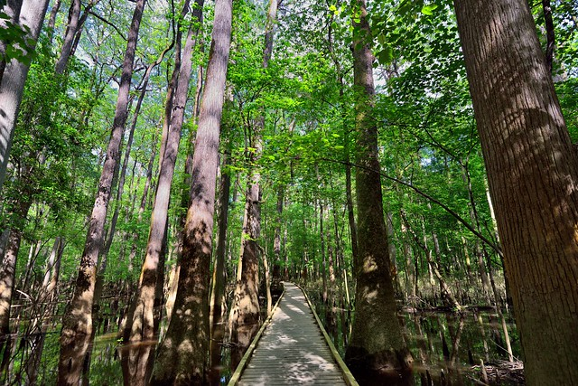 The Boardwalk Loop with Tall Cypress Trees All Around (Congaree National Park)