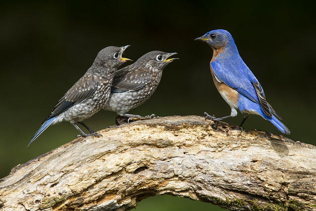Eastern Bluebird, juveniles and adult male
