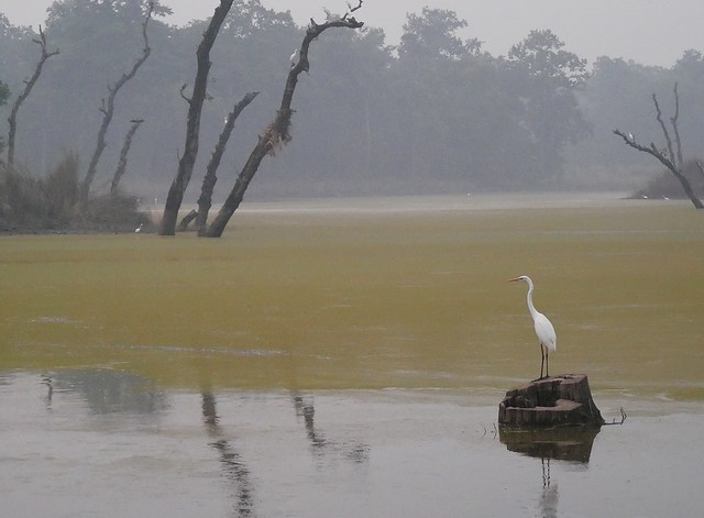 Intermediate Egret, reflection at twilight