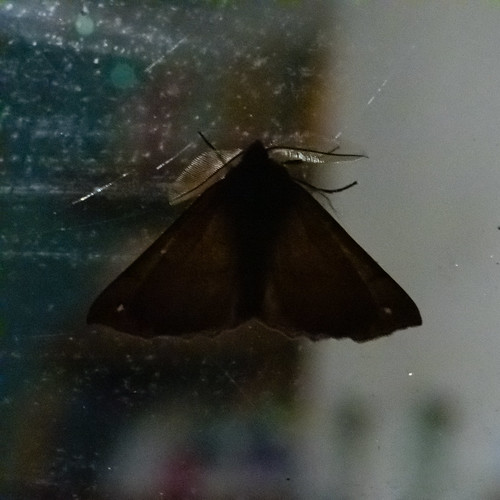 Moth with feathery antennae