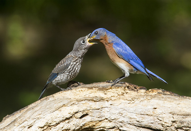 Eastern Bluebirds, juvenile and adult male