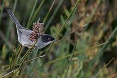 Fauvette mélanocéphale - Sylvia melanocephala -Sardinian warbler