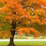 Sweet sugar maple