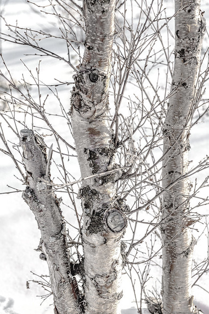 Color photograph of a tree outside of Alta Museum-World Center for Rock near the town of Alta, Norwaya