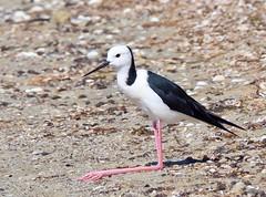 Shorebirds - Stilts - Pied
