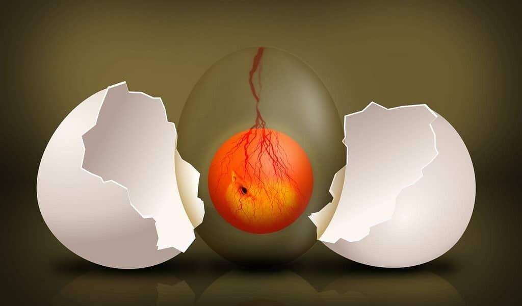 des-embryons-de-poulets-pour-tester-les-polluants