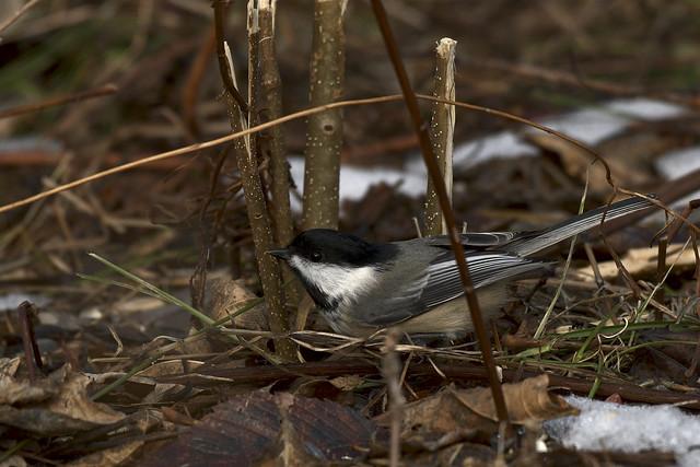 Mésange à tête noire ---  black-capped chickadee --- carbonero de capucha negra
