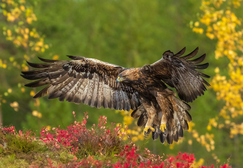Golden Eagle JP260979