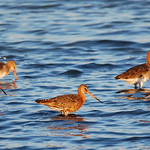 Black-talied Godwits
