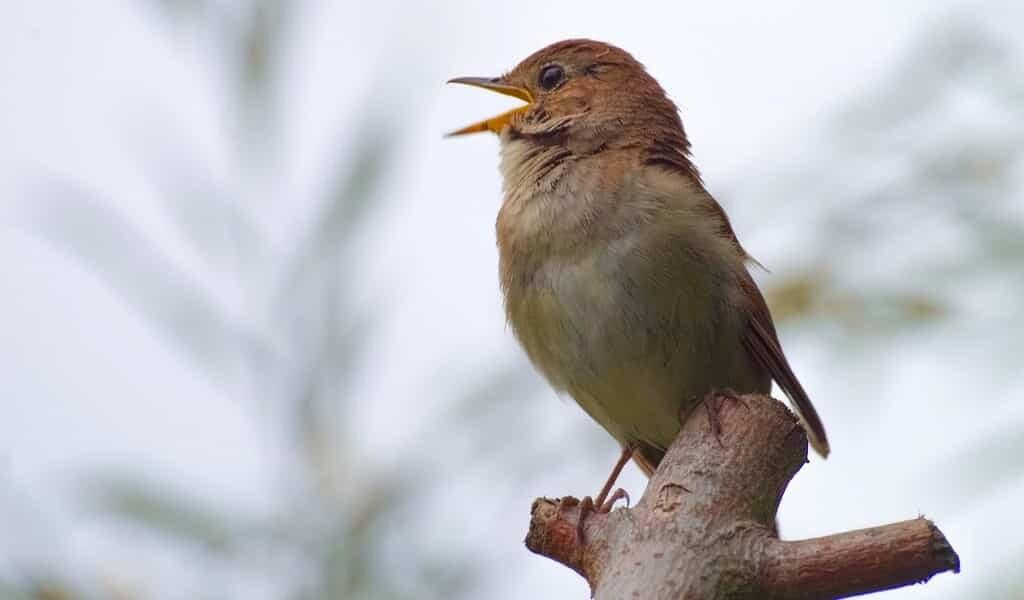 les-rossignols-pratiquent-de-nouveaux-chants-pour-impressionner-leurs-compagnons