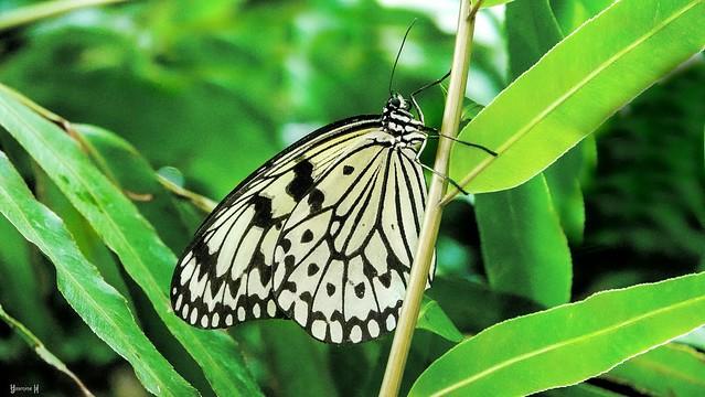 Butterfly - 7765