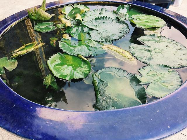Lotus pond, Thailand