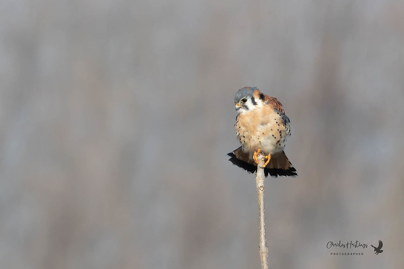 American Kestrel (adult male)