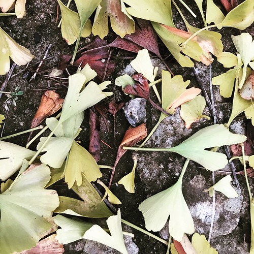 Ginkgo d'automne