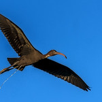 Glossy Ibis at the wc