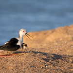 Black-winged Stilt with its chick