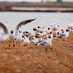 Black-headed and Slender-billed Gulls