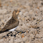 Young Collared Pratincole