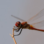 Sympetrum fonscolombii male