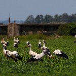 Migrating White Storks stop near Sevilla