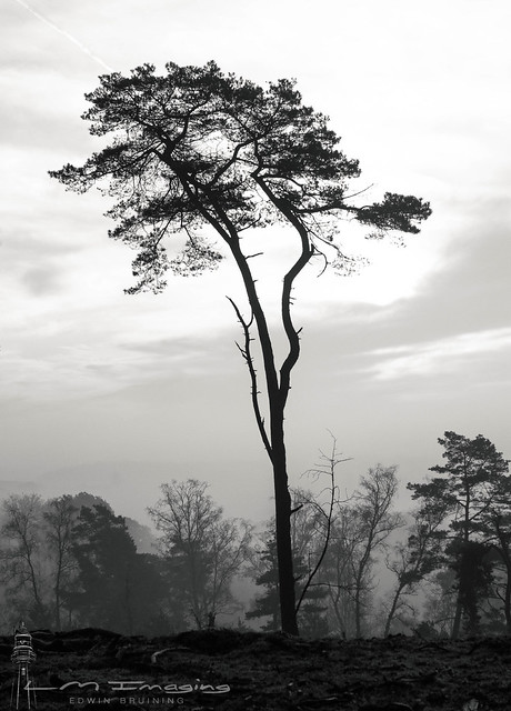 Silhouet of a tall pine Tree