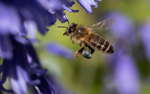 Honey Bee | by framcameraclub