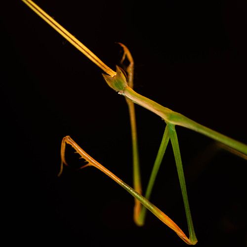 Stick mantid cleaning up!