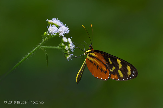 Orange-spotted Tiger Clearwing Or Disturbed Tigerwing Feeding On Small White Blossoms