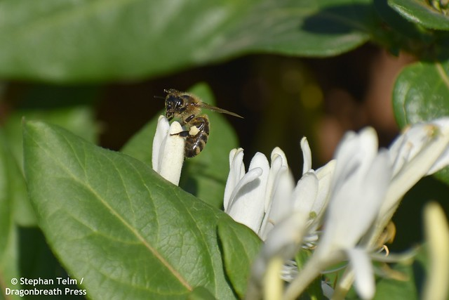 DSC_5351_Honeybee on jasmine