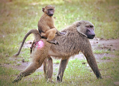 Baboon mother carrying infant on her back!