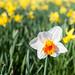 Daffodils, Essex